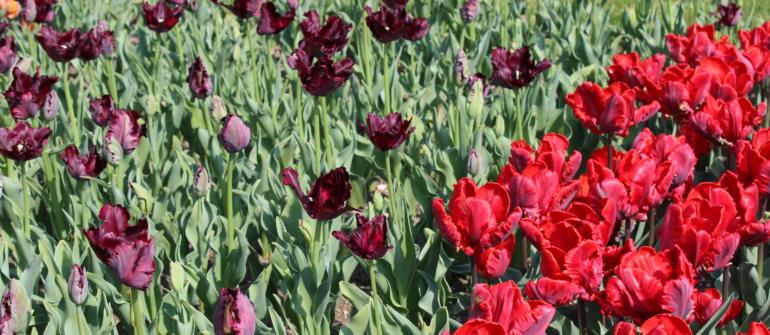 Affetta da Tulipanomania, ascolto il richiamo della natura al Parco Giardino Sigurtà